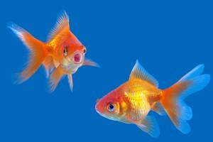 Lei lo lascia, lui le ammazza i pesci rossi. Tranne quello che le aveva regalato