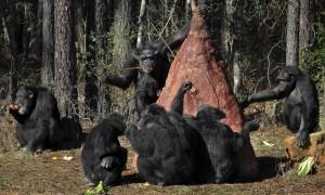 Uomo e scimpanzè violenti: gli unici che attaccano i propri simili per uccidere