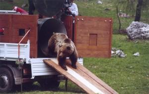 Già quattro orsi morti in Parco Nazionale Abruzzo nel 2014