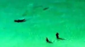 Squalo insegue una manta a riva: turisti presi dal panico fuggono