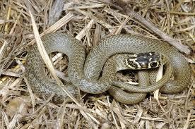 San Giuliano Milanese, commessa morsa da serpente nel magazzino del supermercato