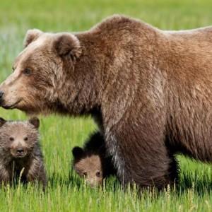 Hanno ammazzato l'orsa perché faceva l'orsa. Mario Giordano, Libero
