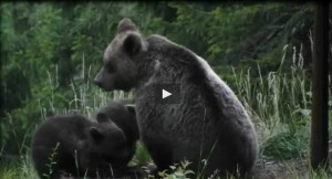 L'orsa Daniza allatta i suoi cuccioli: il video di due anni fa