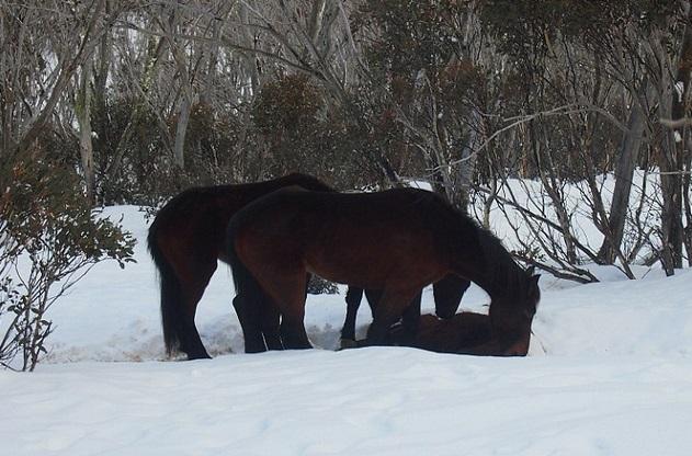 "Cavalli ""cannibali"" nelle Alpi australiane FOTO"