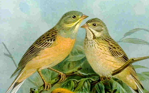 Ortolano, l'uccello proibito. Chef di Francia: Fatecelo cucinare, è delizioso