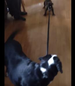 Il cucciolo non vuole uscire: mamma cane lo trascina con il guinzaglio VIDEO