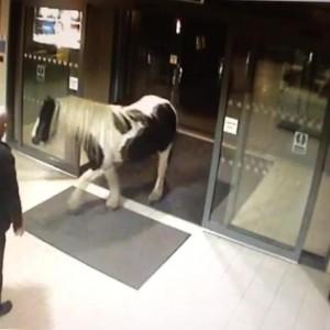 Gb, cavallo scappa da recinzione ed entra nella stazione di polizia