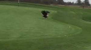 Aquila atterra sul green e ruba la pallina da golf