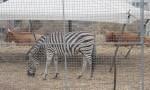 Animali maltrattati al circo, maxi sequestro in Sardegna: il più grande mai eseguito FOTO