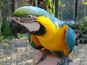 Usa, pappagallo scomparso ritorna: parlava inglese, ora spagnolo
