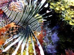 Pesce leone, alieno che invade la Florida: ristoranti salveranno l'ecosistema