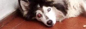 Husky costretto a vivere in un balcone per 12 anni: ora rischia di perdere un occhio