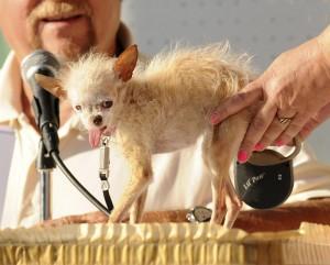 "Mirabello (Pavia): ladri rubano chihuahua. Lara Trespi: ""Ridatecelo"""