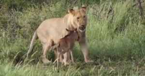 Leonessa insegue cucciolo di bufalo, poi lo raggiunge e...ci gioca VIDEO