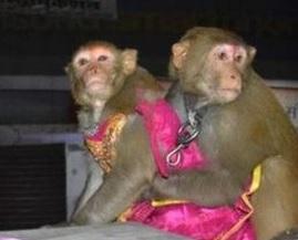 India, il matrimonio tra due scimmie