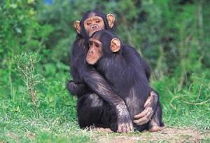 Ebola, scimpanzè resistono al virus. Ma rischiano di morire di fame
