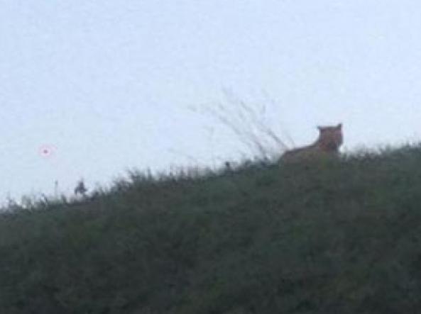 Parigi, caccia alla tigre che passeggia indisturbata nelle banlieue (foto)