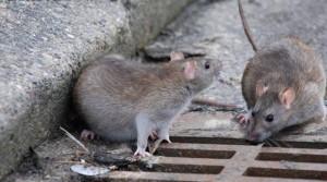 Antegnate, Bergamo: invasione di topi, colpa di Tav e Brebemi