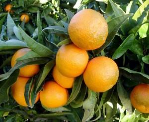 Clementine, è allarme: troppo caldo e invasione dalla Spagna