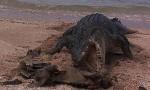 Australia, coccodrillo marino mangia tartaruga morta FOTO