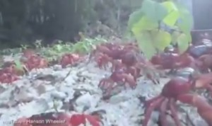 Christman Island, milioni di granchi rossi in migrazione invadono strade