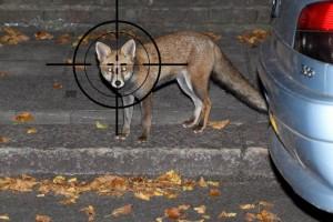 Londra, cecchini contro volpi. 75 sterline per ucciderne una