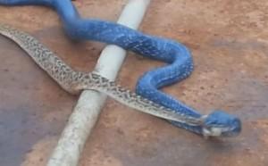 Blue indigo il serpente cannibale mangia suo simile for Veleno per serpenti
