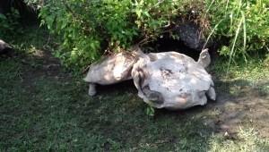 Tartaruga aiuta l'amica a rigirarsi VIDEO