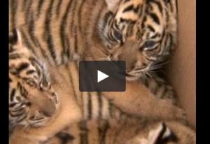 Cina, i tre trigotti dello zoo vengono mostrati per la prima volta VIDEO