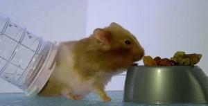Criceto mangia depositando grande quantità di cibo nelle guance: VIDEO Bbc