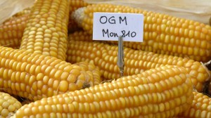 Italia resta no-Ogm, vietato il mais transgenico Mon810