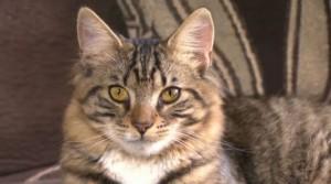 Mittens, il gatto ermafrodita: diventerà maschio con un'operazione da 1000€