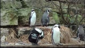 """Ralph, il pinguino """"calvo"""": zoo gli costruisce muta simile a quella dei sub"""