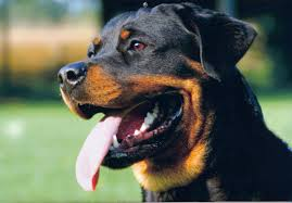 Monza. Rottweiler azzanna bimbo di 4 anni ad una gamba: è grave