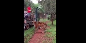 Sud Africa, tigri afferrano pezzo di carne lanciato in aria con un salto VIDEO