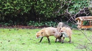 """""""Volpi fanno sesso nel mio giardino e non smettono"""": chiama polizia"""