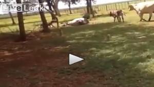 La pecora prende a testate un toro VIDEO