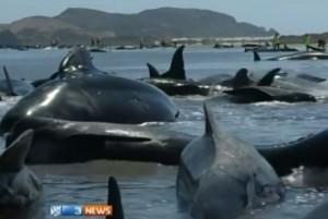 Nuova Zelanda, 200 balene spiaggiate: si spera nell'alta marea