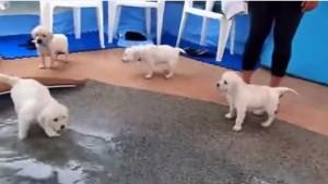 l primo bagno dei cuccioli di golden retriever
