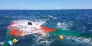 Leone marino sfugge all'orca tuffandosi nella rete dei pescatori