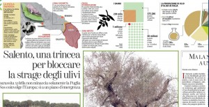 Salento: trincea e muro per salvare gli ulivi dalla Xylella fastidiosa