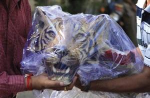 Tibet, spaccio di tigri a Lhasa: prelibate, afrodisiache e a rischio estinzione