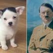 Chihuahua Adolf Hitler, stessi baffi e frangia del Fuhrer 4