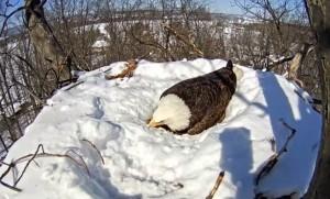 VIDEO YouTube: mamma aquila protegge le sue uova dalla neve scaldandole