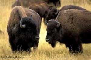 Una mandria di bisonti