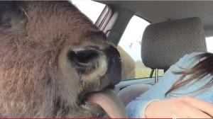 VIDEO YouTube. Bufalo cerca di baciare la ragazza in auto