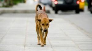 Rovigo: cane gettato dall'auto torna a casa e il padrone lo fa sopprimere