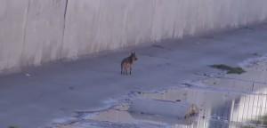 Jordan, cucciolo pastore tedesco ferito e abbandonato in un canale