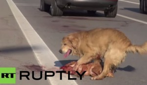 cane trascina l'amico morto a bordo strada