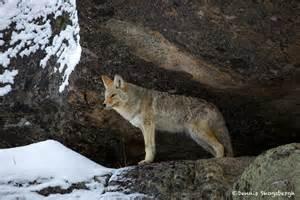 Un coyote a Central Park